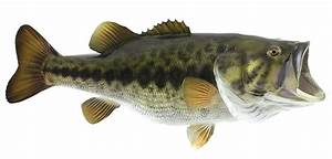 Largemouth Bass Fish Mount
