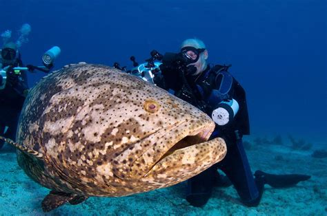 grouper goliath underwater jewfish key funny florida largo photographer pets