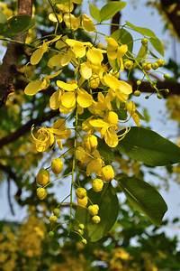 Buy Cassia Fistula (Yellow) Amaltas Ornamental Plants