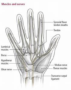 Do we have muscles in our fingers?