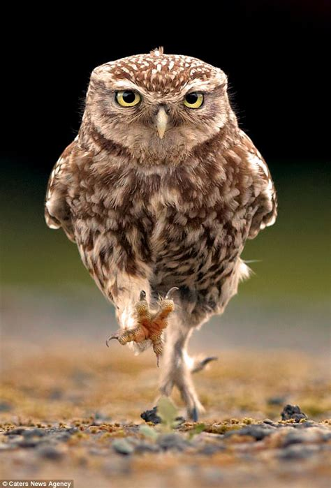 hunting owl appears  march  wood  formby daily