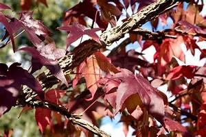 Rote Blätter Baum : rote bl tter der ahorn baum stockfoto colourbox ~ Michelbontemps.com Haus und Dekorationen
