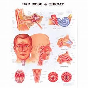 Anatomical Chart  Ear  Nose  U0026 Throat