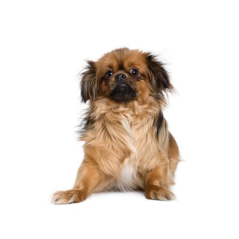 tibetan spaniel everything about this dog breed