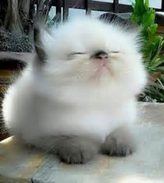 fluffy cats 25 best ideas about fluffy kittens on baby