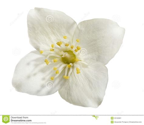 watermerk bloem single flower white background no watermark