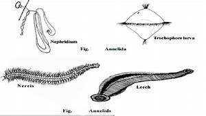 Phylum Nematoda Diagram   www.pixshark.com - Images ...