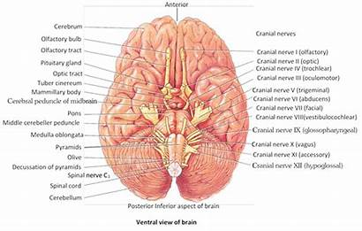 Nervous System Called Optic Parts Brain Studyadda