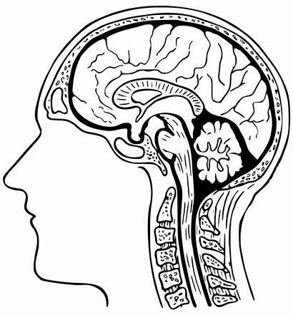 Brain Coloring Human Getcoloringpages Coloringnori