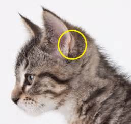 cats ears why do cats those strange formations on the