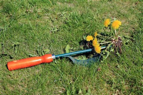 Garden Tool For Manual Weed Removal On Lawn. Stock Photo