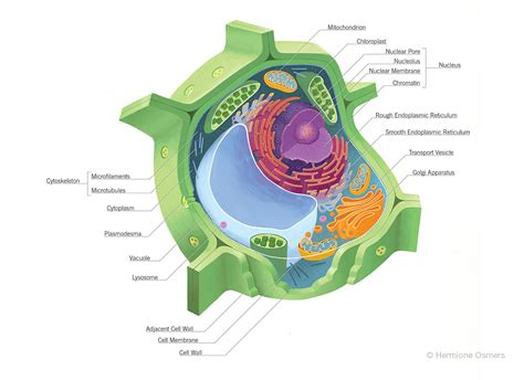 Diagrams Of A Plant Cell To Print  Diagram Site