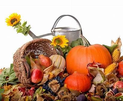 Harvest Desktop Autumn Thanksgiving Sunflowers Wallpapers Background