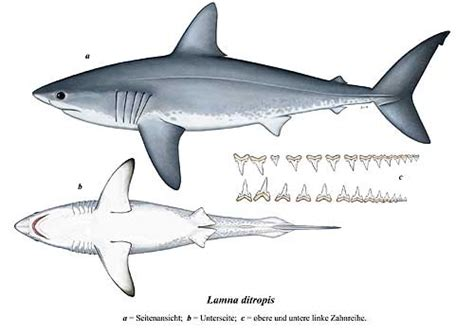 el tiburon intro template fact sheet salmon shark
