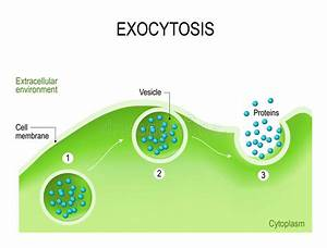 Exocytosis Stock Vector  Illustration Of Anatomy  Body
