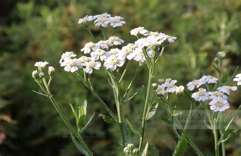 Achillea decolorans - Muskat-Garbe › PflanzenReich