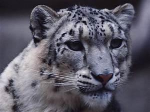 Sne U017eni Leopard