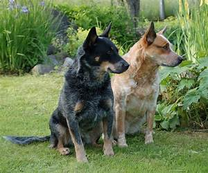Tuvalu 2011 Working Dogs #3 Australian Cattle Dog and ...