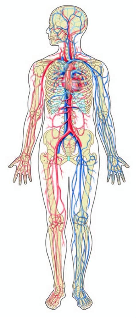 Printable Diagram Of The Circulatory System Trials Ireland