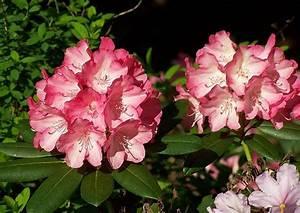 Rhododendron Blüht Nicht : rhododendron yakushimanum hybriden inkarho rhododendron pflege r ckschnitt ~ Frokenaadalensverden.com Haus und Dekorationen