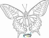 Butterfly Coloring Pages Printable Hard Teamcolors sketch template