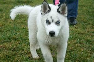 17 Best images about Wolfdog education on Pinterest ...