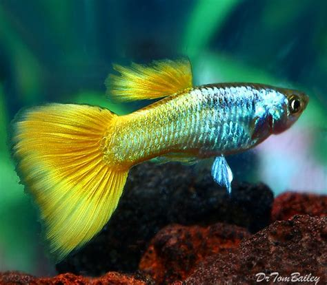 guppy fish types  guppies species colour  tail