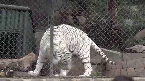 tigre de bengala zoologico nacional de chile parque