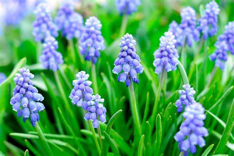 flowering bulbs bulbs more of