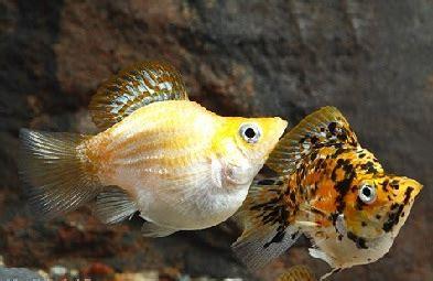 Makanan Ikan Hias Molly cara budidaya ikan molly balon hiasan aquarium