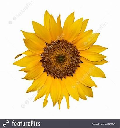 Yellow Flower Single Background Sunflower Flowers Featurepics