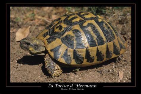 association du refuge des tortues tortue d hermann ou tortue d hermann occidentale