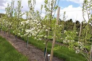 Kirschbaum Kaufen 3m : s sskirsche sylvia frisch aus der baumschule im online shop kaufen ~ Buech-reservation.com Haus und Dekorationen