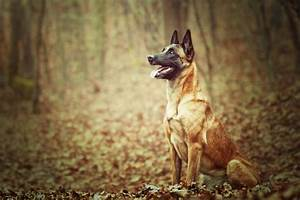 10 Best Personal Protection Dog Breeds – iHeartDogs com