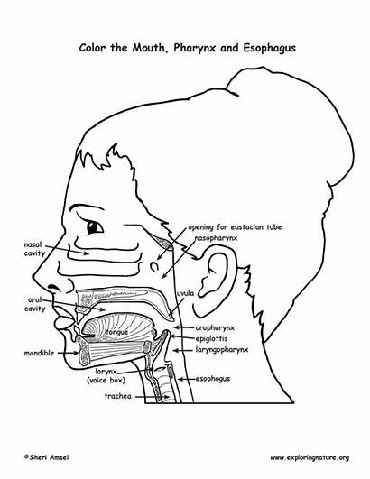 Esophagus Mouth Pharynx Coloring Anatomy Stomach Pdf