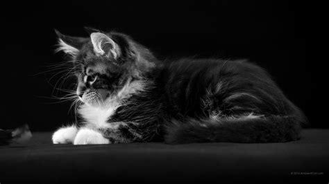 fond d ecran bureau noir et blanc fonds d 39 écran à bureau chats chatons