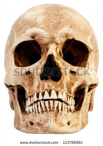 human skull stock images royalty  images vectors