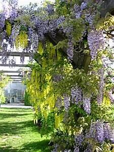Spalierobst Als Sichtschutz : kletterpflanzen rankpflanzen schlinger als sichtschutz im garten ~ Orissabook.com Haus und Dekorationen