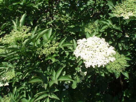 fior di sambuco scopriamo la natura sambuco per una fresca estate