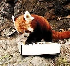 IRTI - funny GIF #5931 - tags: red panda eating sushi fish nom