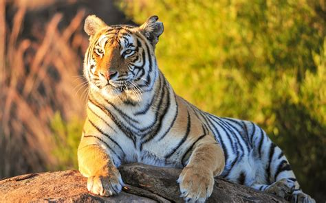 Download Best Tiger Wallpapers Gallery