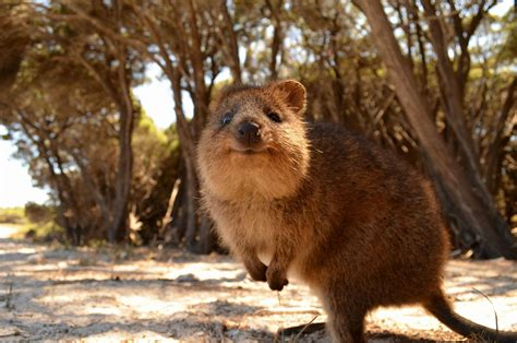 animals australia quokka wallpapers hd desktop