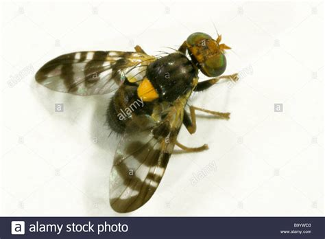 http://www.alamy.com/stock-photo-european-cherry-fruit-fly-rhagoletis-cerasi-studio-picture-23354943.html