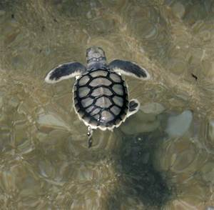 Sea Turtles — Reef Catchments