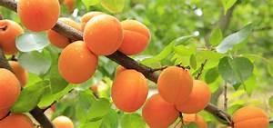 Taille De L Abricotier : abricotier plantation taille entretien nos conseils promesse de fleurs ~ Dode.kayakingforconservation.com Idées de Décoration