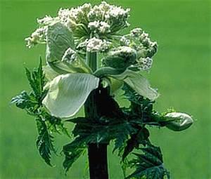 Giftpflanze Mit Stacheliger Frucht : botanik online rosidae apiales ~ Eleganceandgraceweddings.com Haus und Dekorationen