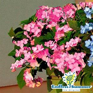 Hortensie Endless Summer Standort : hortensie endless summer twist n shout xl rosa von ~ Lizthompson.info Haus und Dekorationen