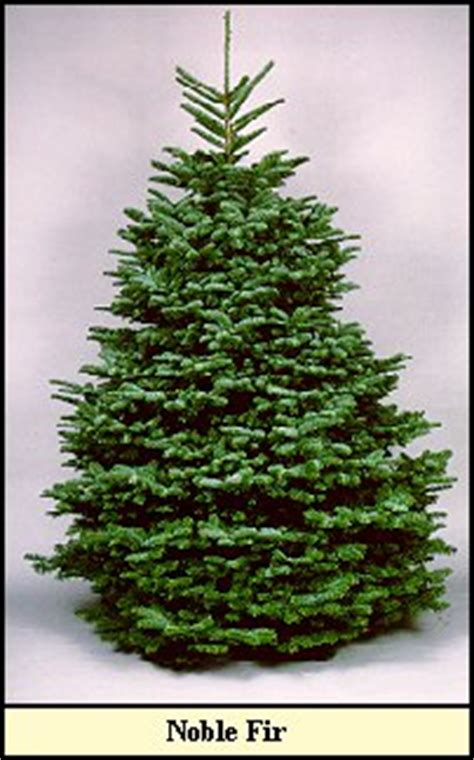 Noble Fir Christmas Tree Information