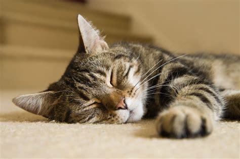 tabby cat sleeping  life  riley official blog kitten