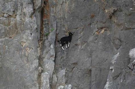 pictures  crazy goats  cliffs realfarmacycom